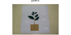 Tactile graphic: Understand the life process in plants -Part of plants respond to stimuli (Blind)